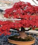 Cách chăm sóc bonsai trong nhà