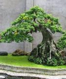 Hướng dẫn một số dáng, thế cổ của Bonsai Việt Nam