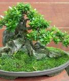 Cách tạo rêu cho cây bonsai và trên đá