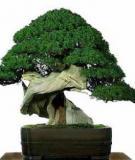 Kinh nghiệm trồng Bonsai