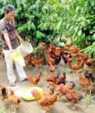 Kỹ thuật chăn nuôi gà ta thả vườn
