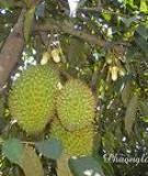 CÂY SẦU RIÊNG ( Durio Zibethinus Murr.-Bombacaceae)