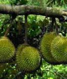 Xử lý ra hoa và biện pháp giữ trái sầu riêng