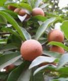 Các kỹ thuật trồng cây Sa-pô  (Manilkara Zapota,Linn)