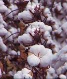 Những biện pháp khống chế sâu hại và tăng năng suất trồng bông vải