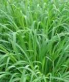 Một số giống cỏ dùng trong chăn nuôi gia súc