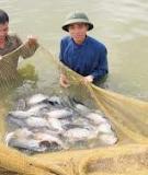 Kỹ thuật nuôi cá rô Phi thương phẩm