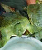 Kỹ thuật nuôi Ba Ba thịt trong ao và trong bể xi măng