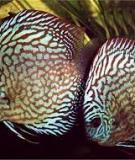 Bệnh thường gặp ở cá Dĩa