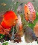 Hướng dẫn kỹ thuật nuôi cá đĩa