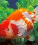 Kỹ thuật nuôi cá vàng Ngọc Trai Vàng