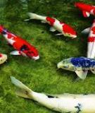 Phòng trị bệnh cho cá koi