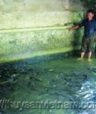 Kỹ thuật nuôi cá chình trong bể xi măng