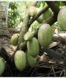 Mô hình trồng Ca cao xen vườn Dừa