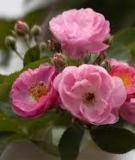 Tác dụng của hoa tầm xuân đối với sức khỏe