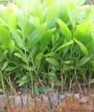 Hướng dẫn trồng rừng Bạch Đàn Mô