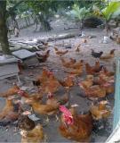 Phương pháp điều trị bệnh cho gà và vật nuôi