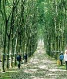 Phát triển cây cao su ở Việt Nam
