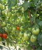 Kỹ thuật trồng và chăm sóc dưa hấu, bí ngồi, cà chua và ngô