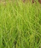 Một số biện pháp hạn chế nấm Fusarium moniliforme gây bệnh lúa von