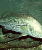 Cách nuôi cá chẽm nước mặn
