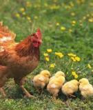 Hội chứng giảm đẻ ở gà