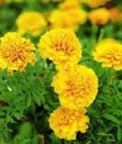 Kỹ thuật trồng, nhân giống và chăm sóc hoa Cúc