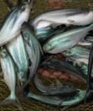 Kỹ thuật ương cá tra bột