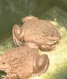 Nuôi ếch trong lồng lưới