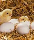 Trong chăn nuôi gà khi nào cần phải sử dụng vitamin C?