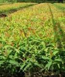 Quy trình nuôi cấy mô cây keo lai