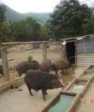 Kinh nghiệm chăn nuôi heo rừng quy mô trang trại hộ gia đình