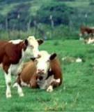 Bệnh sán là gan ở trâu và bò