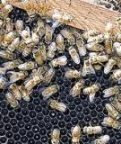 Nghề nuôi ong