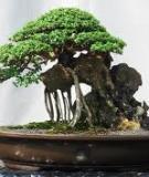 Cách vun trồng, tạo hình và chăm sóc chậu cây cảnh