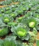 Các loại rau đang gieo trồng ở nước ta