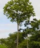 Kỹ thuật trồng rừng lát Mexico