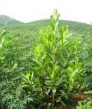 Các kỹ thuật trồng cây keo lai