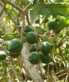 Trồng cây mắc ca ở các tỉnh miền Nam