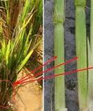 Hướng dẫn biện pháp phòng trừ bệnh lùn sọc đen hại lúa
