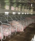 Xây dựng chuồng trại trong chăn nuôi heo