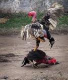 Hướng dẫn mẹo chọn và nuôi gà chọi sung sức