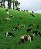Hướng dẫn các cách chọn mua một con bò sữa tốt