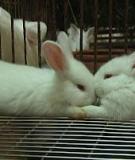 Cách phòng trị các bệnh thường gặp ở thỏ