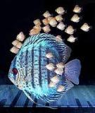 Hướng dẫn cách nuôi cá dĩa
