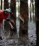 Rubber plantation performance in the Northeast and East of Thailand in relation to environmental conditions