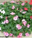 Hoa Phụng Tiên