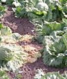 Lettuce production guidelines for Hawaii
