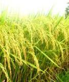 Các kỹ thuật sản xuất hạt giống lúa lai F1 vụ Xuân
