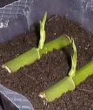 Phương pháp nhân giống một số loại cây ăn quả phổ biến